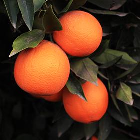 dried-oranges