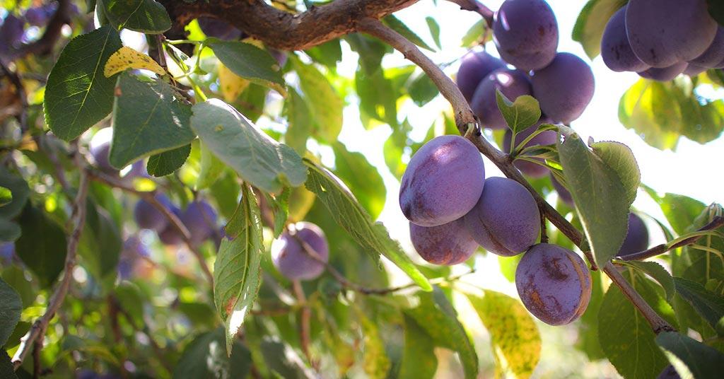 Prunes - Bella Viva Orchards