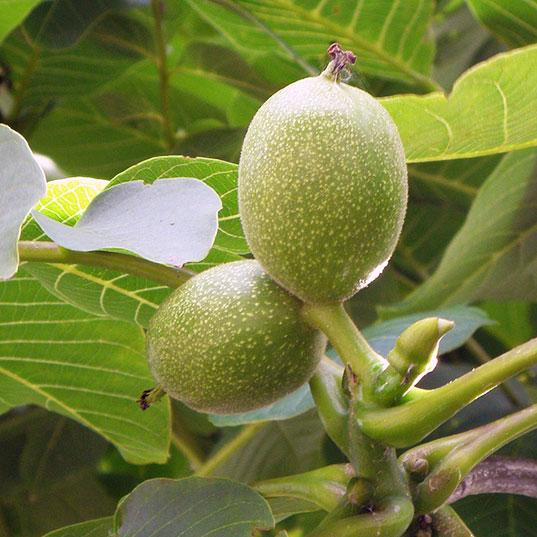 Walnut Tree - Bella Viva