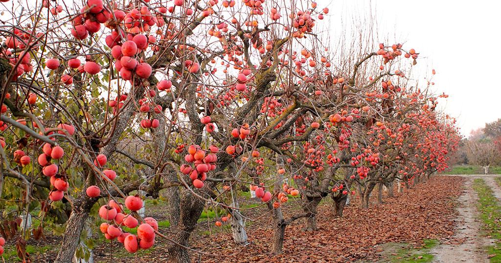 Organic Persimmons - Bella Viva Orchards