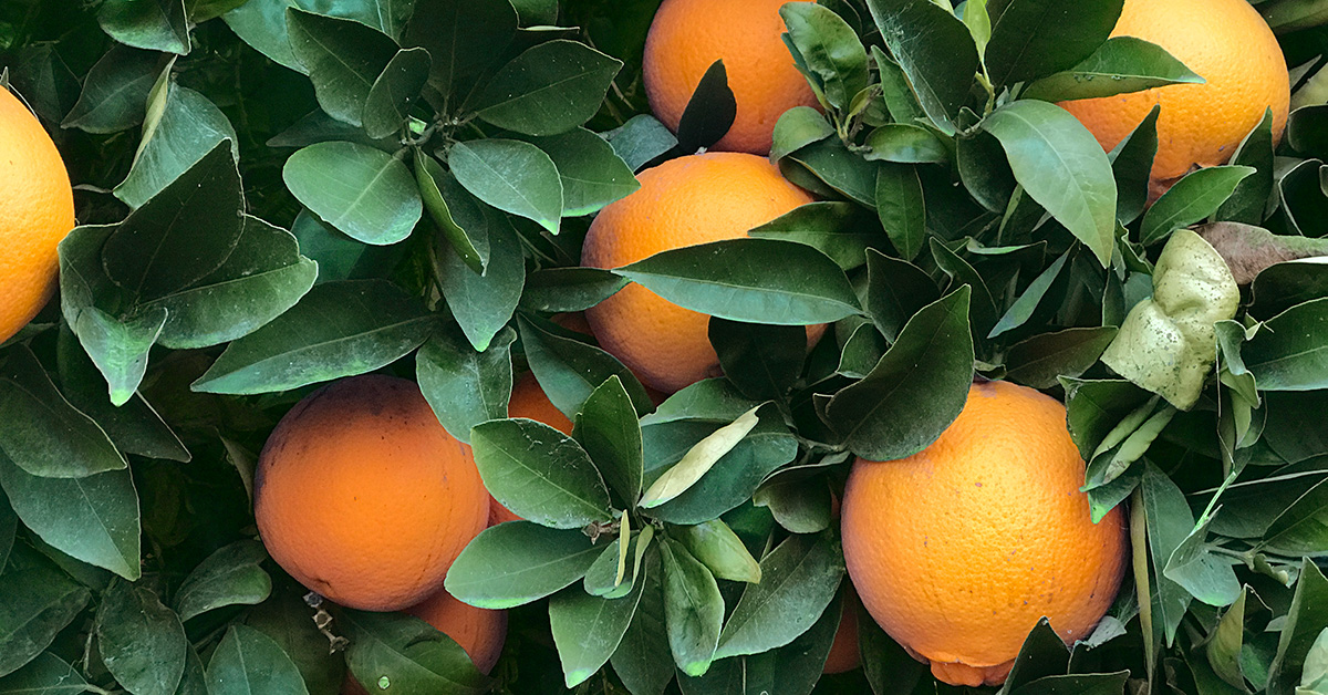 California Navel Oranges