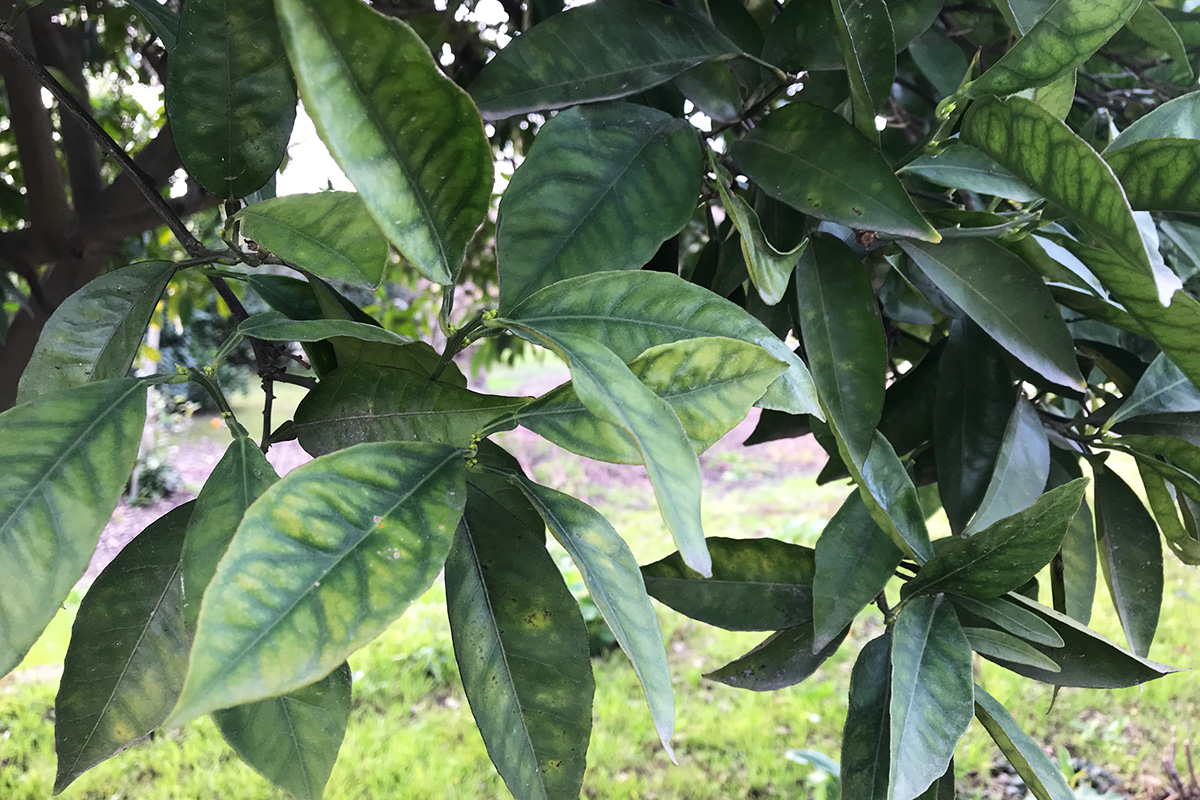 Citrus Greening Disease: Huanglongbing