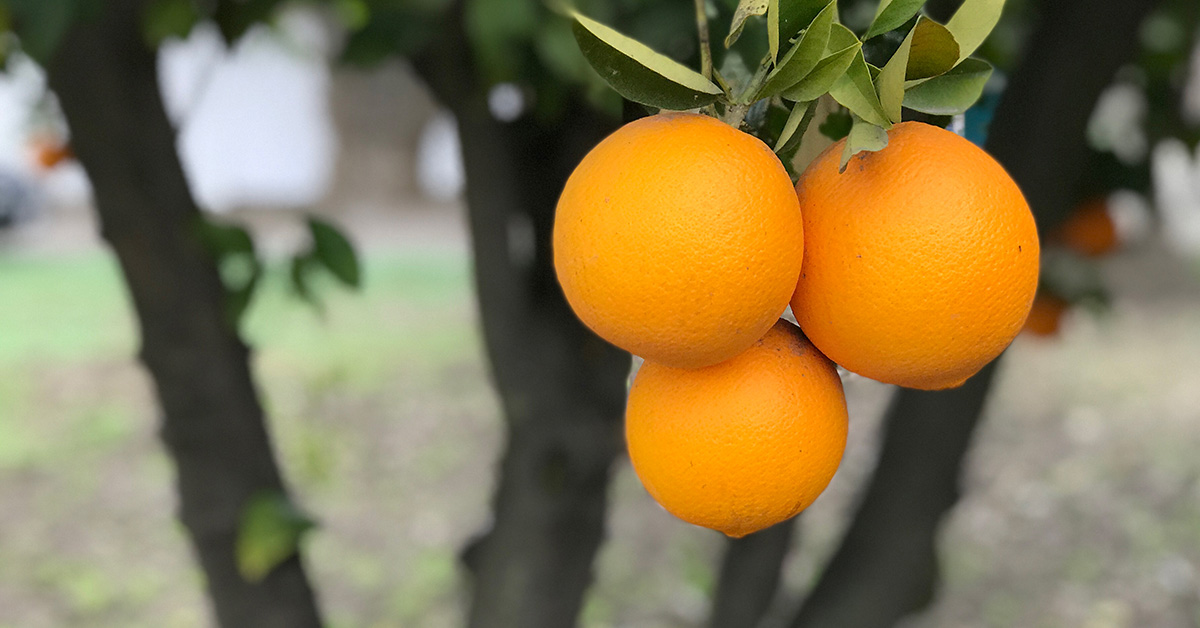 Farmer Spotlight - Organic Oranges - Bella Viva Orchards