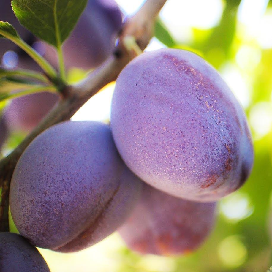 Moyer Prunes