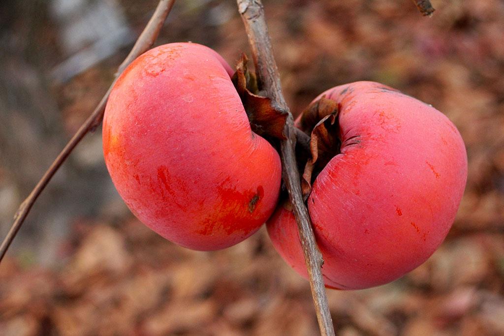 Hachiya Persimmons - Bella Viva Orchards