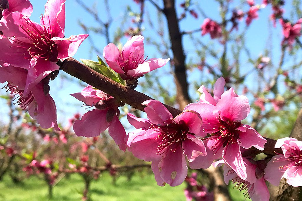 California Nectarine Blossoms